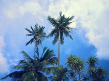 Arbres de noix de coco Images stock