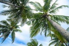 arbres de noix de coco contre les cieux bleus photographie stock libre de droits