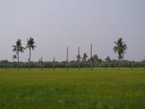Arbres de noix de coco dans le domaine Photo stock
