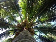 Arbres de noix de coco du sud du Kerala Photographie stock