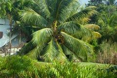 Arbres de noix de coco du sud du Kerala Image libre de droits