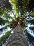Arbres de noix de coco du sud du Kerala Photos libres de droits
