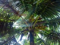 Arbres de noix de coco du sud du Kerala Photos stock