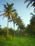 Arbres de noix de coco du sud du Kerala Images libres de droits