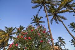 Arbres de noix de coco en île des Îles Maurice Image stock