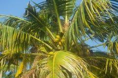 Arbres de noix de coco en hiver Images stock