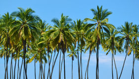 Arbres de noix de coco grands Image libre de droits