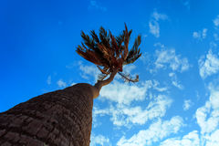 Arbres de noix de coco grands Photo stock