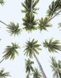 Arbres de noix de coco tropicaux, vue de l'oeil du ver de terre Photos stock