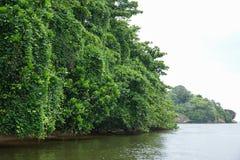 Arbres de palétuvier sur la rivière Bentota Ganga dans Sri Lanka Photographie stock