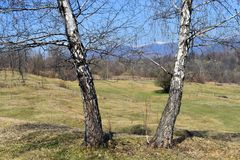 Arbres de peuplier blanc jumeaux dans la belle journée de printemps ensoleillée photo stock