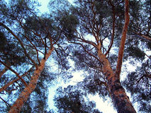 Arbres de pin Photo libre de droits