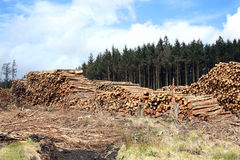 Arbres de pin abattus Photos libres de droits