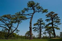 Arbres de pin au jardin impérial de Tokyo Photo libre de droits