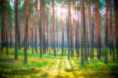 Arbres de pin au lever de soleil Images libres de droits