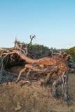 Arbres de pin balayés par le vent Images stock