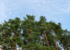 Arbres de pin contre le ciel bleu Photo stock