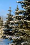 Arbres de pin couverts dans la neige Photos libres de droits