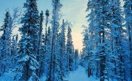 Arbres de pin couverts par la neige images libres de droits