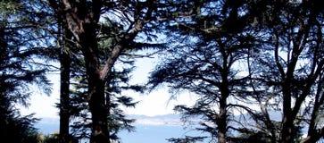 Arbres de pin dans la forêt Photo libre de droits