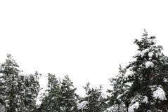 Arbres de pin dans la neige Image stock