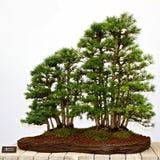 Arbres de pin de bonzaies Photographie stock libre de droits