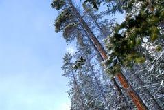 Arbres de pin de l'hiver image libre de droits