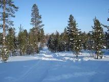 Arbres de pin de la Laponie Images libres de droits