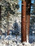 Arbres de pin de Ponderosa après neige fraîche Photographie stock libre de droits
