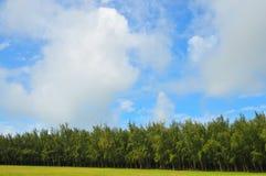 Arbres de pin denses Photographie stock libre de droits
