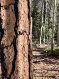 Arbres de pin et de bouleau le long des traînées des montagnes Forest National Park, Nevada de ressort photos stock
