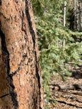 Arbres de pin et de bouleau le long des traînées des montagnes Forest National Park, Nevada de ressort photographie stock libre de droits
