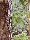 Arbres de pin et de bouleau le long des traînées des montagnes Forest National Park, Nevada de ressort photo stock