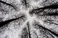 Arbres de pin sans feuilles Images libres de droits