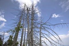 Arbres de pin secs Photographie stock libre de droits