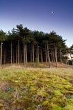 Arbres de pin sous la lune. Image libre de droits