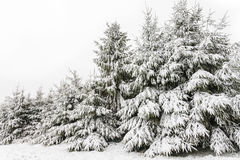 Arbres de pin toujours d'actualité couverts de neige en hiver photo stock