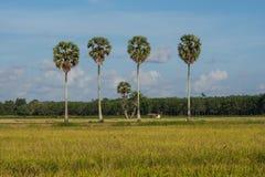 Arbres de Plam et gisements de riz Photographie stock libre de droits