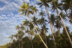 Arbres de Plam, Fiji Photographie stock libre de droits