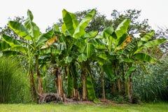 Arbres de plantation de banane dans une forêt photographie stock
