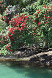 Arbres de Pohutukawa sur le rivage de la péninsule de Coromandel, NZ Photographie stock libre de droits