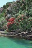 Arbres de Pohutukawa sur le rivage de la péninsule de Coromandel, NZ Photos libres de droits