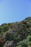 Arbres de Pohutukawa sur le rivage de la péninsule de Coromandel, NZ Images libres de droits