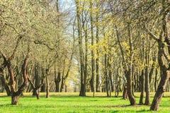 Arbres de printemps avec les premières feuilles fraîches Images stock