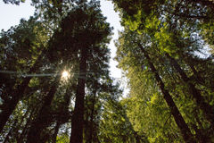 Arbres de séquoia en Muir Woods Photographie stock libre de droits