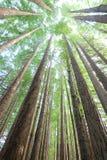 Arbres de séquoia de forêt tropicale Image stock