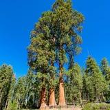 Arbres de séquoia géant en parc national de séquoia photos stock
