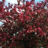 Arbres de Sakura à Leicester Photographie stock libre de droits