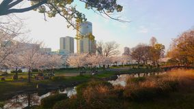 Arbres de Sakura au Japon photo stock