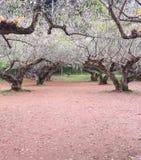 Arbres de Sakura sur la route de campagne de saleté Photographie stock libre de droits